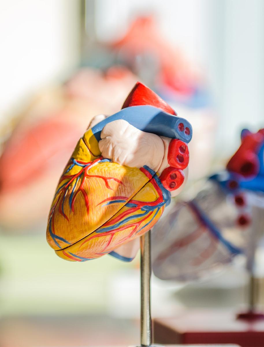 Maqueta corazón, unidad de cardiología deportiva Sport IT